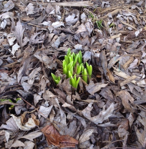 Little green signs of life means Spring has come.